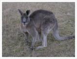 kangur01